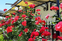 Roses Growing at the Sienna Restaurant in Paphos, Cyprus